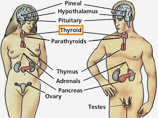 All About the Endocrine System - Thyroid Gland - 4